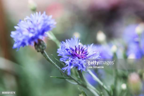 Close up of blue cornflowers