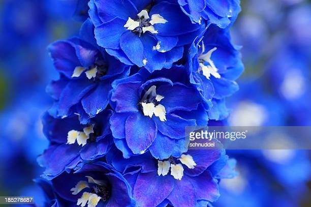 close up of blue delphinium flowers with blurred background - delphinium stock pictures, royalty-free photos & images