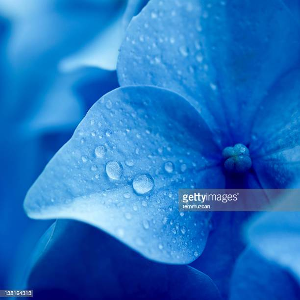 Close up of blue hydrangea flower