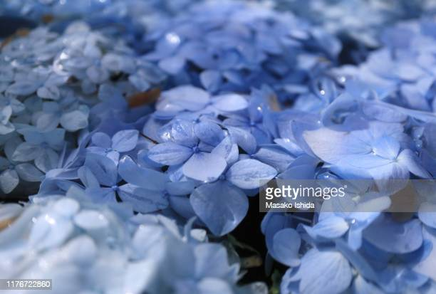 close up of blue hydrangea flowers floating in water,full frame - あじさい ストックフォトと画像