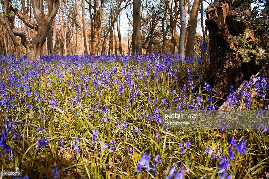 Grande plano de bluebells em um Prado : Foto de stock