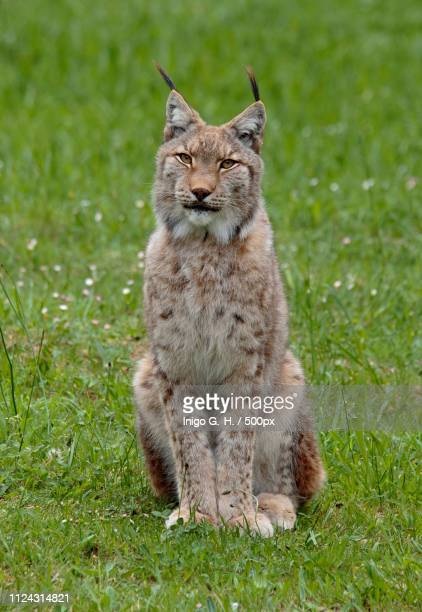 close up of bobcat portrait - lynx photos et images de collection