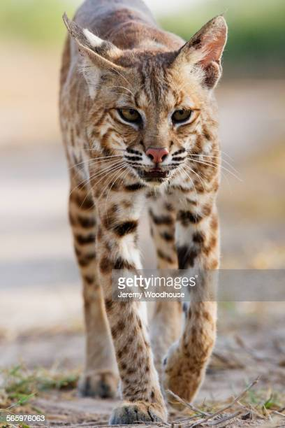 Close up of bobcat walking