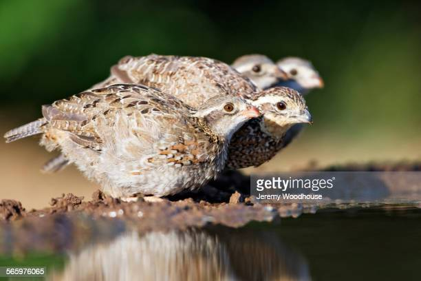 close up of bobwhite quails perching at water - quail bird stock photos and pictures