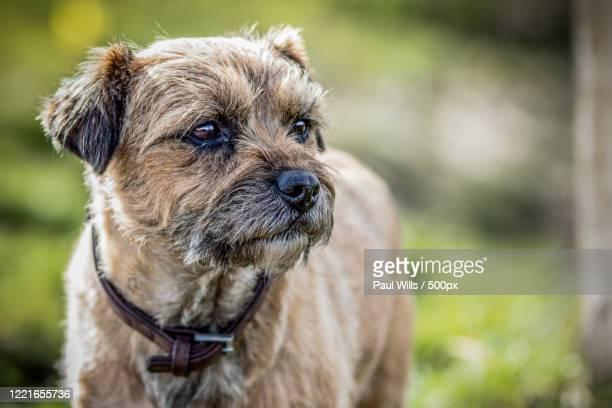 close up of border terrier - images fotografías e imágenes de stock