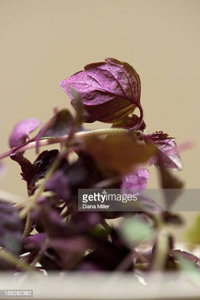 Close up of bowl of purple basil leaves