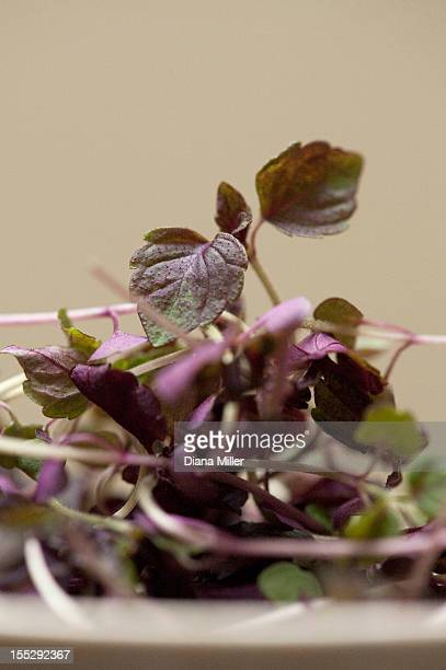 Close up of bowl of red basil leaves