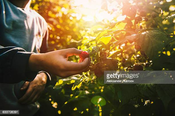 close up of boy picking raspberry - berry fruit stock pictures, royalty-free photos & images