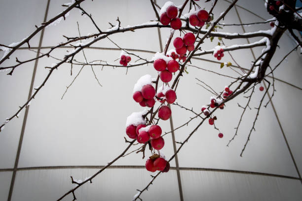 Close up of branch with rowanberries in snow