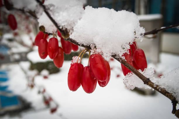 Close up of branch withrowanberriesin snow