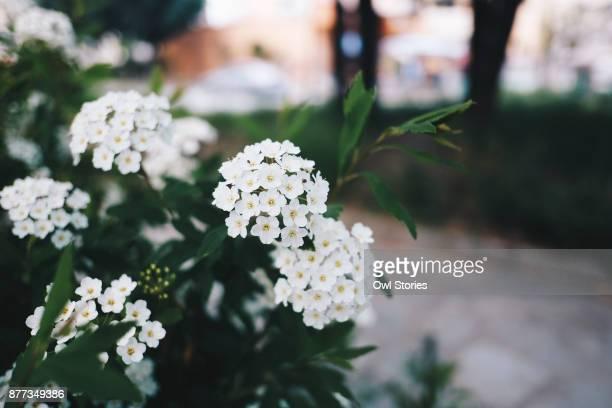 Close up of bridal wreath spirea flower
