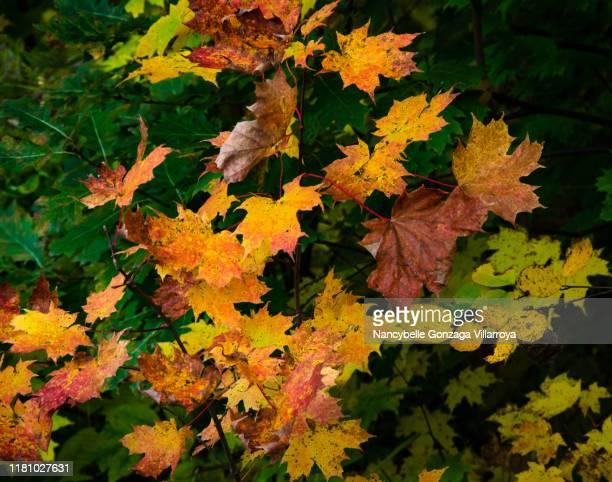 close up of bright and vibrant autumn colours on trees - esdoorn stockfoto's en -beelden