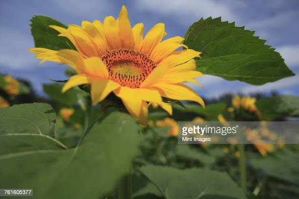 Close up of bright yellow Japanese sunflower.