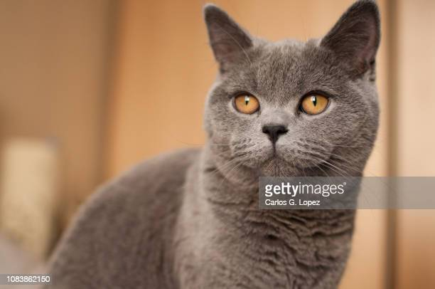 close up of british short hair cat kitten with bright orange eyes looking away - british shorthair cat stock pictures, royalty-free photos & images