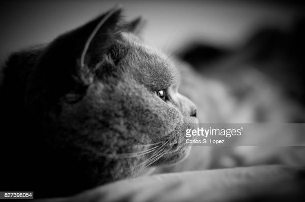 Close up of British Short Hair cat looking away