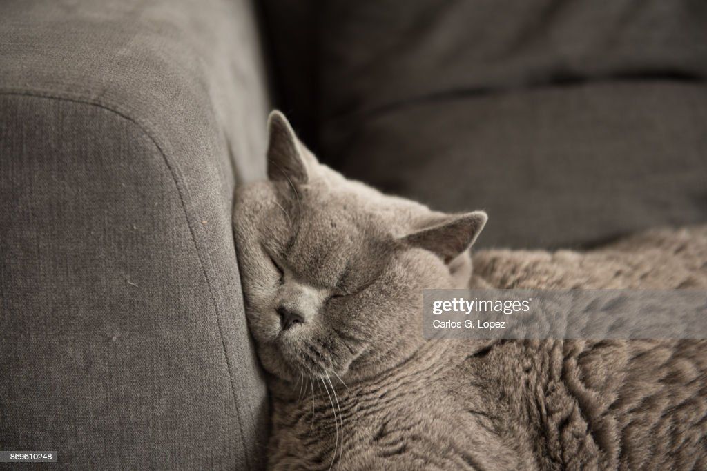 Close up of British Short Hair cat sleeping on couch : Stock Photo