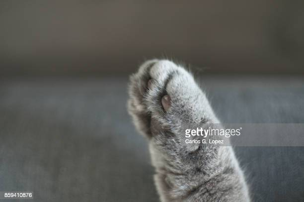 Close up of British Short hair cat's paw on sofa