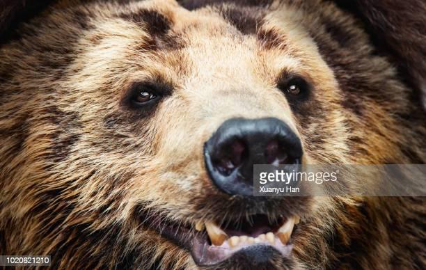 Close up of brown bear.