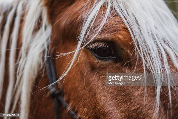 close up of brown comtois horse with silver mane. - horse stock pictures, royalty-free photos & images