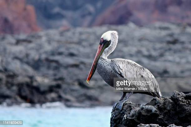 close up of brown pelican (elecanus occidentalis) - brown pelican stock photos and pictures
