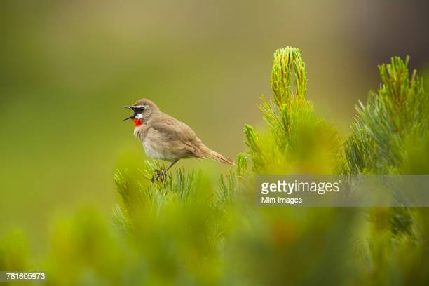 close up of brown siberian rubythroat, calliope calliope perching on plant. - birdsong stock pictures, royalty-free photos & images