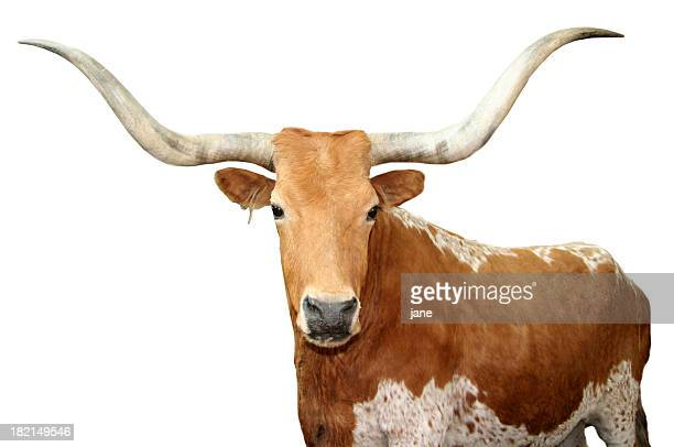 Close up of brown spotted Texas longhorn