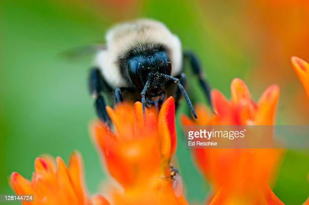 close up of bumblebee (bombus bimaculatus) on butterfly weed, tall grass prairie, chi waukee prairie, nature conservancy, wisconsin, usa - vilas_county,_wisconsin stock pictures, royalty-free photos & images