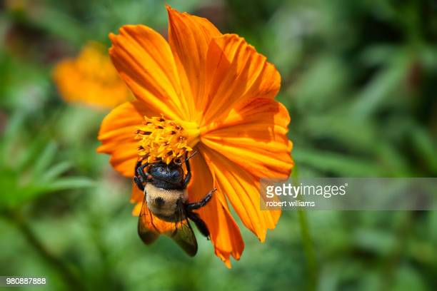 close up of bumblebee perching on yellow flower - bumblebee stock pictures, royalty-free photos & images