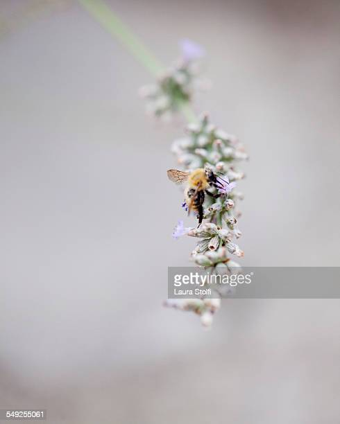 Close up of bumblebee pollinating lavender flower