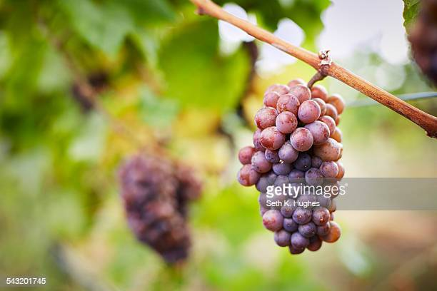 Close up of bunch of red grapes on vine, Kelowna, British Columbia, Canada