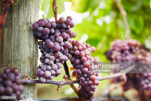 Close up of bunches of red grapes on vine, Kelowna, British Columbia, Canada