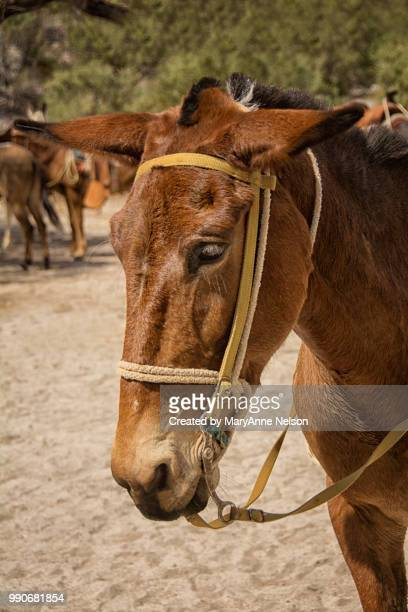 close up of burro's head - mexican riding donkey stock photos and pictures
