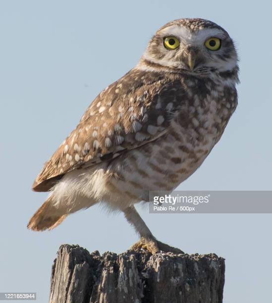 close up of burrowing owl (athene cunicularia), coronda, santa fe, argentina - perching stock pictures, royalty-free photos & images