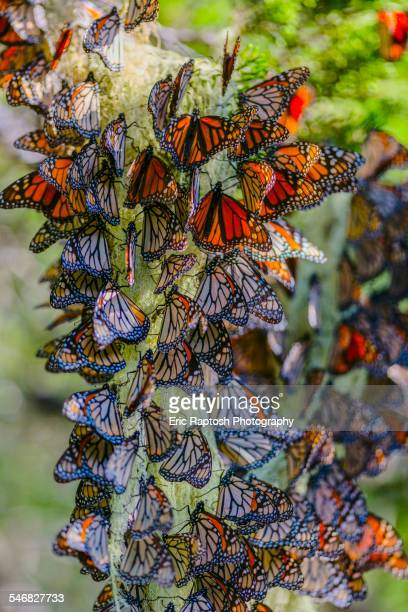 Close up of butterflies perching on plant