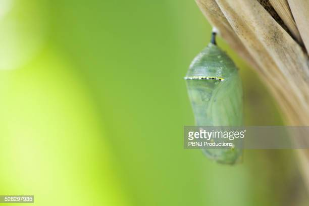 Close up of butterfly cocoon hanging from tree