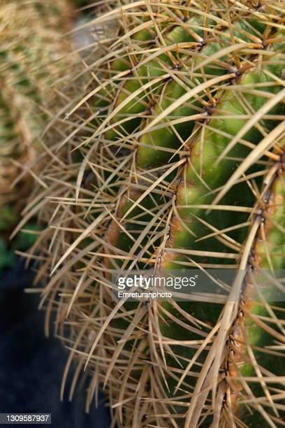 close up of cactus spikes - emreturanphoto stock pictures, royalty-free photos & images