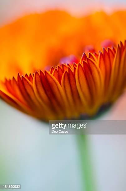 Close up of calendula flower