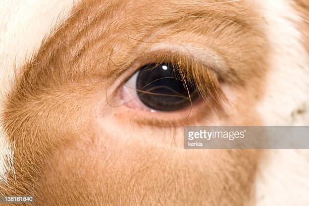 close up of calf eye - cow eyes stock pictures, royalty-free photos & images