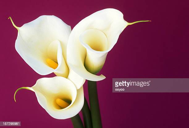 close up of calla - calla lily stock pictures, royalty-free photos & images