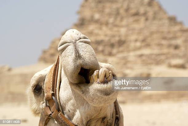 Close up of camel mouth