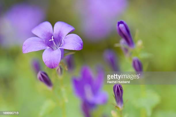 Close up of campanula flower