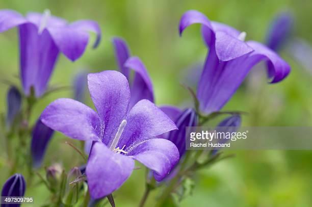 Close up of campanula flowers