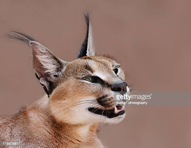 Close up of caracal