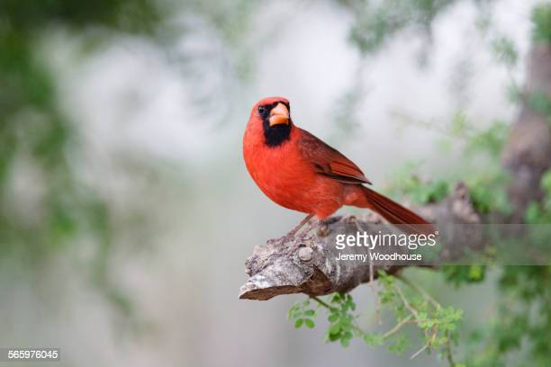 close up of cardinal perching in tree - cardinal bird stock photos and pictures