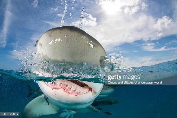 Close up of Caribbean reef shark