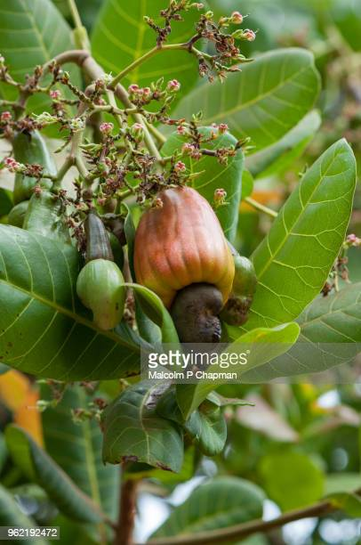 """close up of cashew fruit with nut on tree, kerala, india - india """"malcolm p chapman"""" or """"malcolm chapman"""" ストックフォトと画像"""