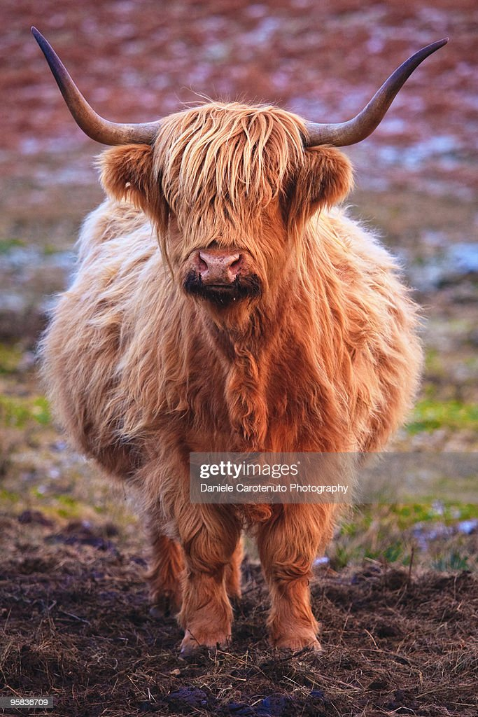 Close up of cattle : Stock Photo