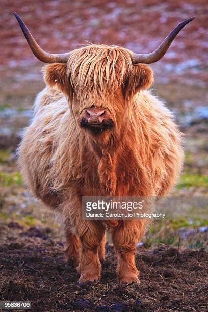 close up of cattle - yak stock pictures, royalty-free photos & images