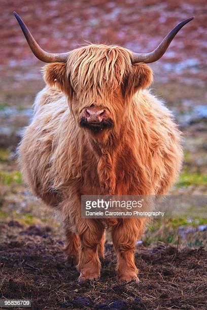 close up of cattle - daniele carotenuto fotografías e imágenes de stock