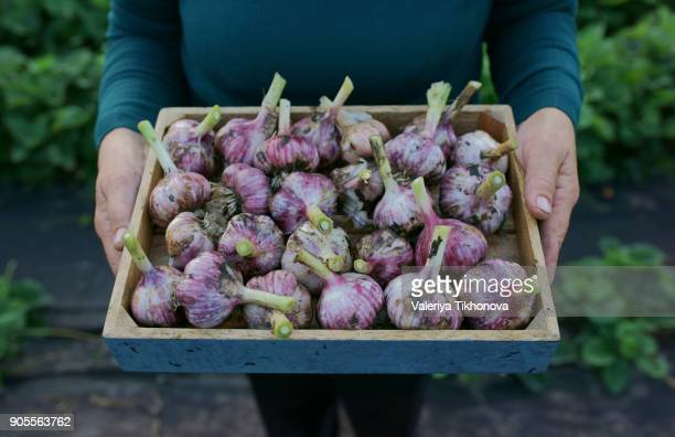 close up of caucasian woman holding tray of garlic - garlic stock pictures, royalty-free photos & images